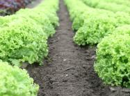 A farm of lettuce in a row.