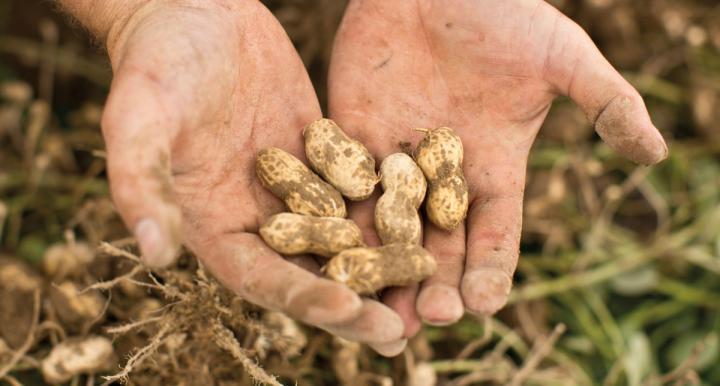 jumbo Virginia peanuts from Hope & Harmony Farm