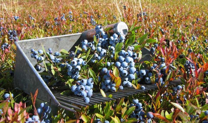 Wild Blueberries North America